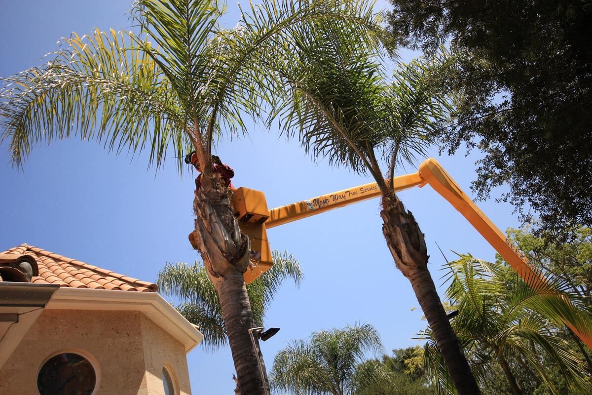 Palm Tree Trimming-Solana Beach CA Tree Trimming and Stump Grinding Services-We Offer Tree Trimming Services, Tree Removal, Tree Pruning, Tree Cutting, Residential and Commercial Tree Trimming Services, Storm Damage, Emergency Tree Removal, Land Clearing, Tree Companies, Tree Care Service, Stump Grinding, and we're the Best Tree Trimming Company Near You Guaranteed!