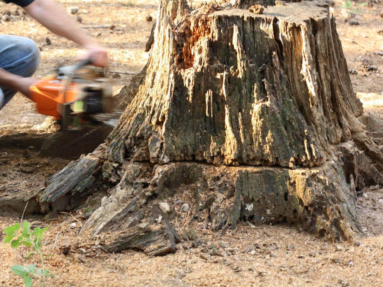 Stump Removal-Solana Beach CA Tree Trimming and Stump Grinding Services-We Offer Tree Trimming Services, Tree Removal, Tree Pruning, Tree Cutting, Residential and Commercial Tree Trimming Services, Storm Damage, Emergency Tree Removal, Land Clearing, Tree Companies, Tree Care Service, Stump Grinding, and we're the Best Tree Trimming Company Near You Guaranteed!