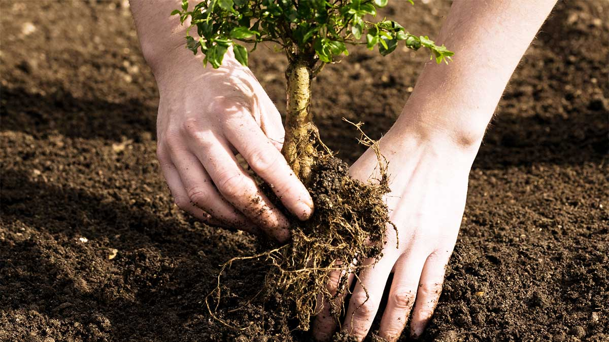 Tree Planting-Solana Beach CA Tree Trimming and Stump Grinding Services-We Offer Tree Trimming Services, Tree Removal, Tree Pruning, Tree Cutting, Residential and Commercial Tree Trimming Services, Storm Damage, Emergency Tree Removal, Land Clearing, Tree Companies, Tree Care Service, Stump Grinding, and we're the Best Tree Trimming Company Near You Guaranteed!